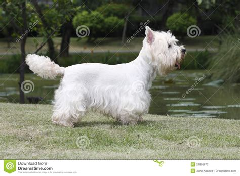 West Highland White Terrier Shedding by West Highland White Terrier Grooming Royalty Free