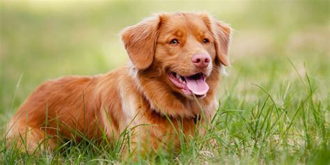 nova scotia duck tolling retriever dog breed information image gallery tolling