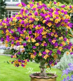 bougainvillea colors free shipping 100 mix color bougainvillea balcony pot yard