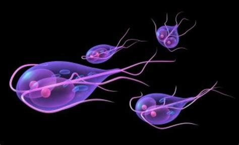 giardia in puppies contagious to humans giardia in dogs the free owners guide