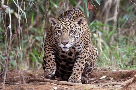imagenes de jaguar animal file jaguar panthera onca palustris female piquiri river