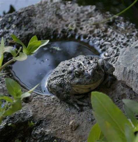 i found a frog in my backyard 17 best ideas about toad house on pinterest frog house