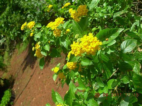 In House Plants lantana sp ghaneri kop s nursery