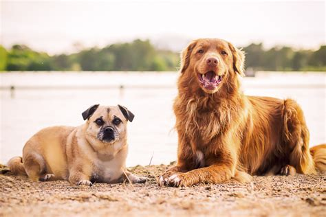 pug rescue scotia happy tails the pug mix and the toller daily tagdaily tag