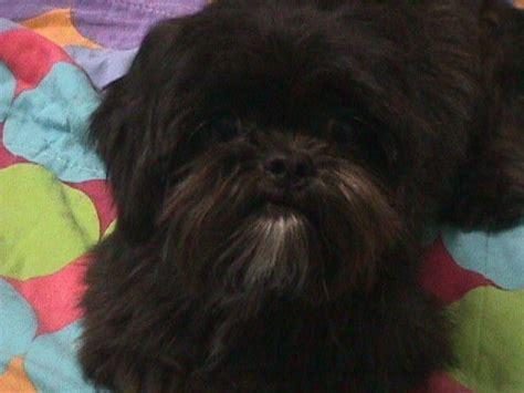shih tzu rescue in maryland adoption