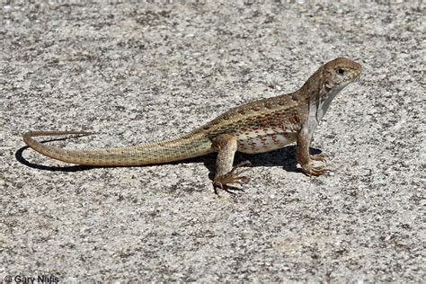 how to get rid of lizard in my room how to get rid of lizard in my room 28 images how to get rid of lizards like brown or
