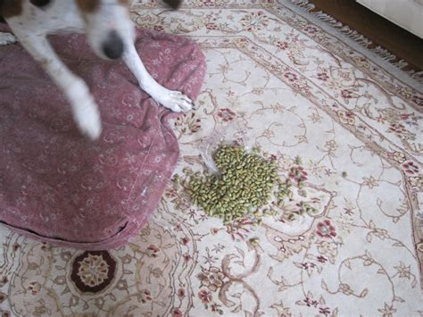 edamame for dogs dreams du attention can dogs eat edamame