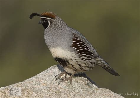 gambel s quail very common prescott az birds pinterest