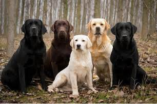 Blind Puppies For Adoption Labrador Retrievers A Families Best Friend Daily Review