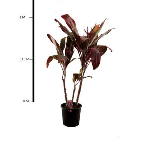Flowering Evergreen Shrubs Full Sun - a j flynn cordyline rubra