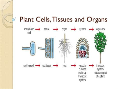 plant cell tissue and organ culture cell suspension 05 plant cells tissues and organs