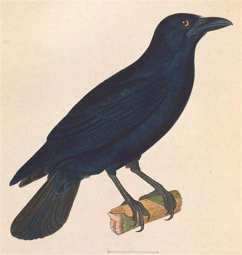 cuban crow wikipedia
