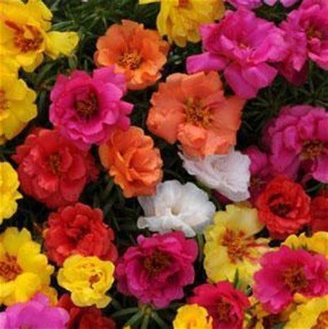 Pupuk Untuk Bunga Pukul 9 tanaman portulaca warna acak 1 rumpun bibitbunga