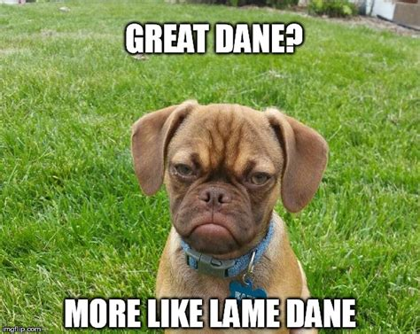 Great Dane Meme - image tagged in dogs grumpy puppy great dane pets lolz