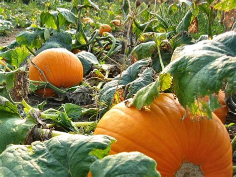 Pumpkin Garden by Calabaza Pumpkin Cucurbita Maxima Zoom S Edible Plants