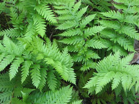 the hardy fern foundation hardy ferns fern displays