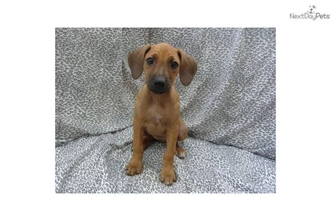 rhodesian ridgeback puppies for sale california rhodesian ridgeback puppy for sale near san diego california eb077572 a081