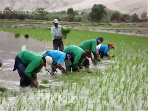plantadores de arroz caman 225 pucch 250 n youtube - Plantadores De Arroz