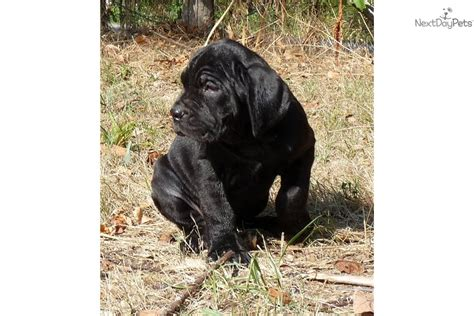 pug puppies for sale in charleston sc mastiff and pet breeds picture
