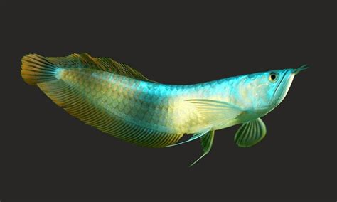 Ikan Arwana Brazil ikan arwana ini dia arwana silver sebagai pilihan