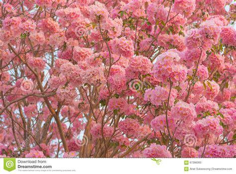 new year pink flower beautiful tabebuia rosea tree pink flower blooming in