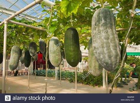 gardening hydroponics learn the amazing of growing fruits books melon fruit flowers and vegetable are grown in a tropical