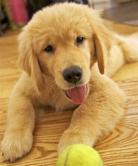 owning a golden retriever puppy 25 b 228 sta baby golden retrievers id 233 erna p 229 golden retriever valpar