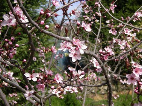 mandorlo in fiore 2014 agriculture naturelle casa di paglia felcerossa