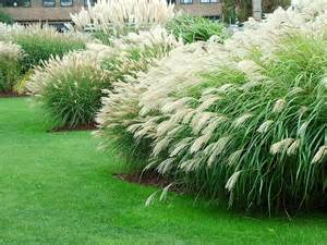 grasses for landscaping grass gardens pictures search dan s