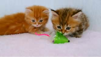 Rug Hugger Munchkin Two Fluffy Kittens Playing With Toy Mouse The Cutest