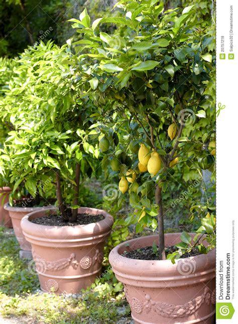 albero limoni in vaso alberi di limone conservati in vaso fotografia stock