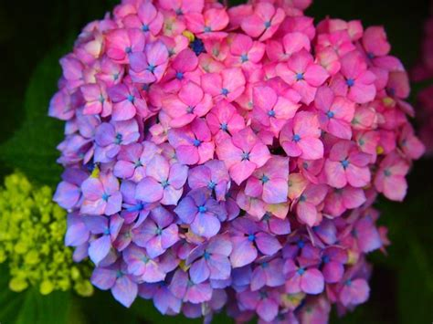 changing hydrangea color 28 images how to change the