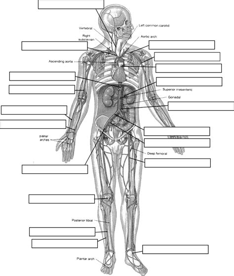 anatomy and physiology diagram quizzes blank human skeleton diagram anatomy organ