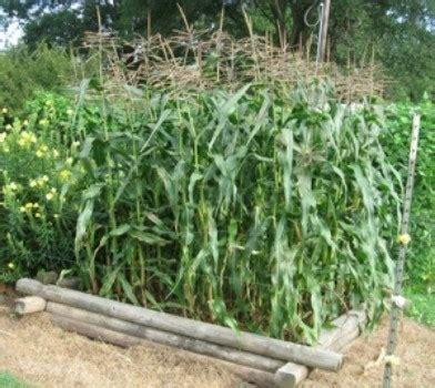 growing corn in raised beds growing corn thriftyfun