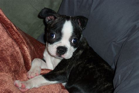 free boston terrier puppies free boston terrier puppies 19 cool hd wallpaper dogbreedswallpapers