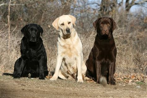 labrador retrievers animals wiki pictures