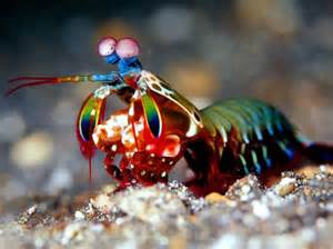 colorful shrimp light color sound peacock mantis shrimp