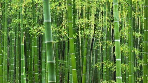 jual tanaman hias bambu jepang  pagar www