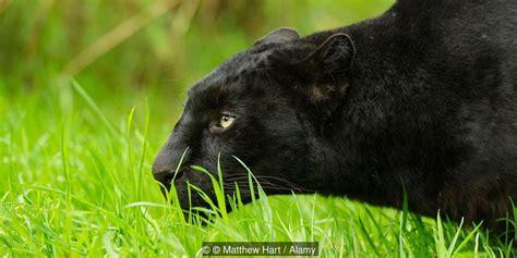Black Leopard black leopard spots
