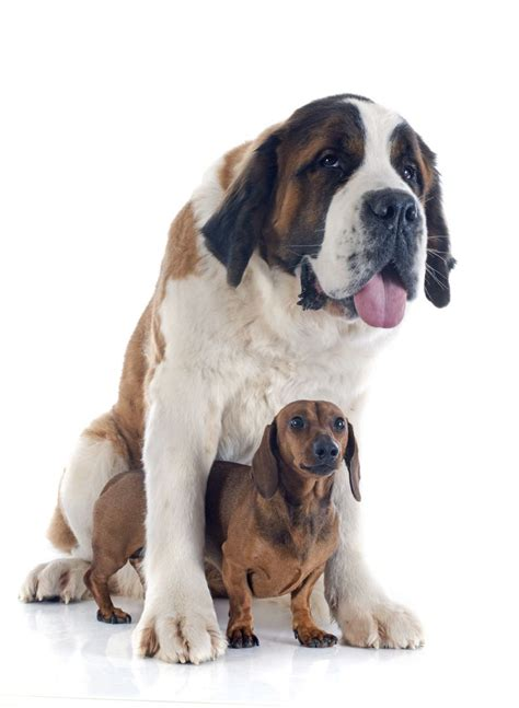 how to tell how big a puppy will be did you any can bloat but large breed and chested dogs are more at