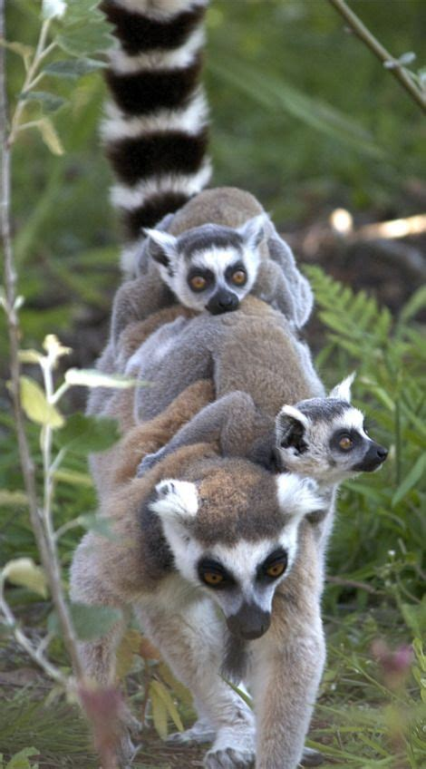 Lemur I Like To Move It Move It by Madagascar Hold On And On