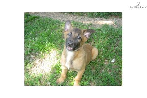 shepinois puppies belgian shepherd malinois for sale for 400 near fayetteville arkansas d57e3bef 40c1