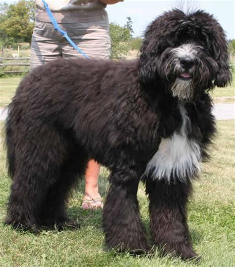bernese mountain and poodle designer dogs the doodles fuzzy today