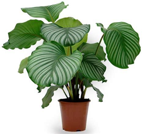 Cura Della Calathea calatea calathea piante da interno calatea