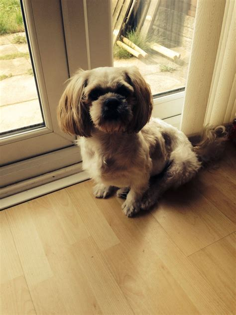 shih tzu adults shih tzu liverpool merseyside pets4homes