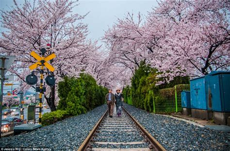 Korea Pink japan and south korea are transformed by blooming cherry