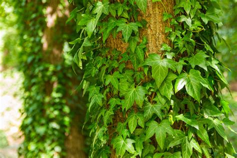 english ivy english ivy plants picture warning growing tips