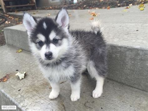 mini pomsky puppies for sale m 225 s de 25 ideas incre 237 bles sobre pomsky en venta en pomsky for sale