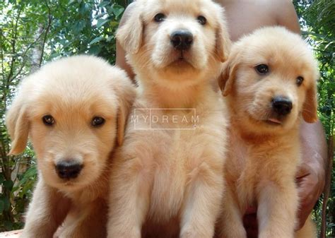 golden retriever puppies for sale in sri lanka golden retriever for sale in sri lanka merry photo