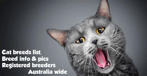 cats breeders cat breeders australia cat breed list